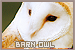 Birds: Barn Owls