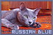 Cats: Russian Blue